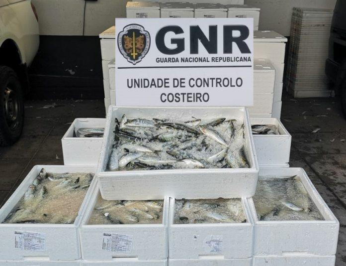 GNR apreendeu tonelada e meia de sardinha em Matosinhos