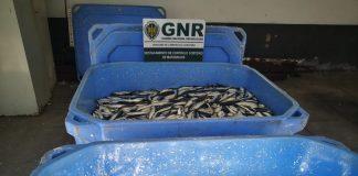 Apreendidos 800 quilos de sardinha em Matosinhos